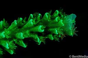 Fluorescent Acropora coral