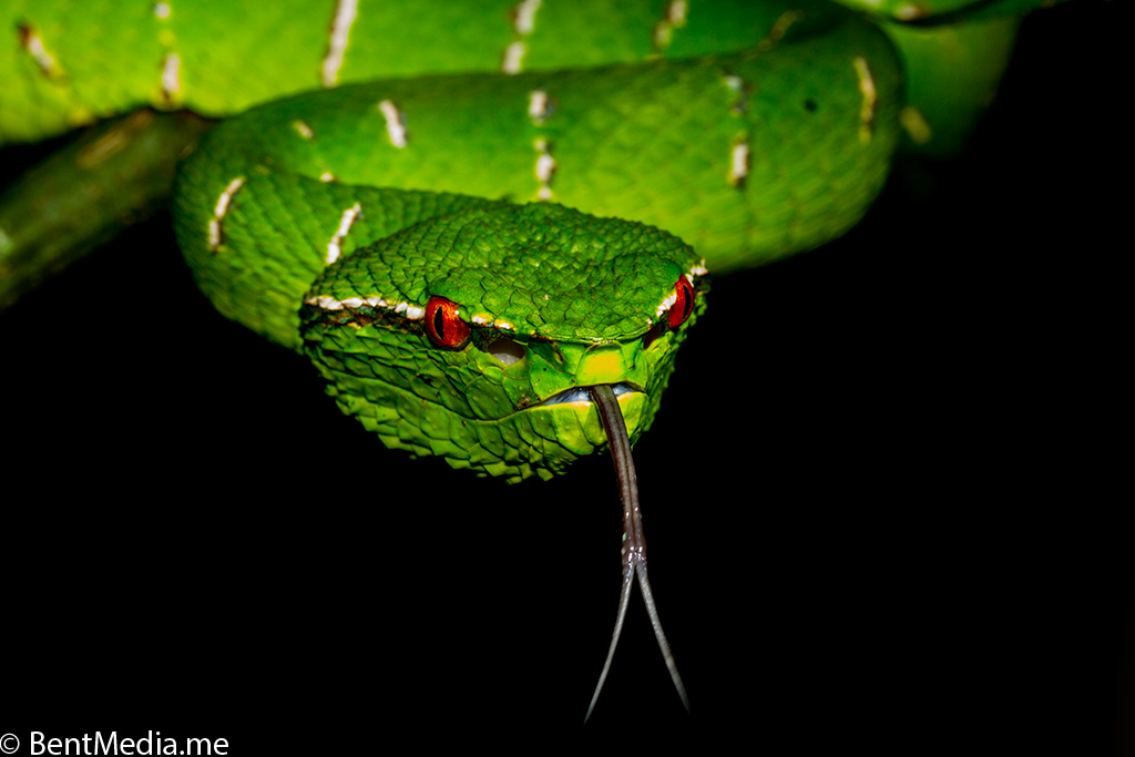 Male Wagler´s pit viper, Borneo