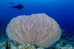 Sea fan, Red sea