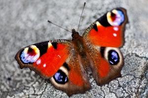 Butterfly, Sweden