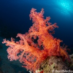 Dendronephtyid soft coral, Red sea