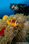 Red sea anemone fish, Red sea