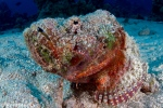 Flasher scorpionfish, Red sea