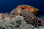 Hawkbill turtle crushing some coral