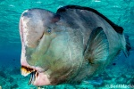 Bumphead parrotfish and cleaner wrasse