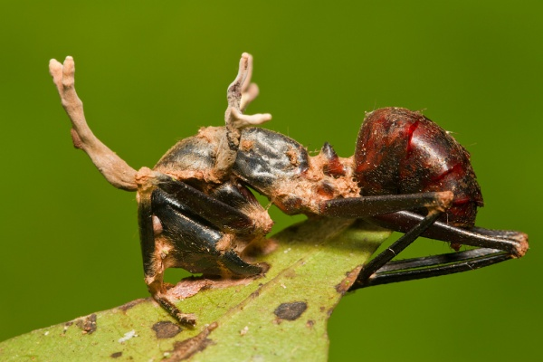 Cordyceps on Camponotus ant