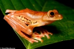 Red flying frog
