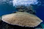 Acropora corals in surf