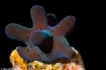 Maldivian sponge snail