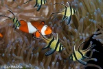 Banggai cardinalfish and false clownfish