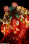 Peacock mantis shrimp with shrimp