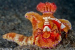 Ceratosoma with emperor shrimp hitchhikers