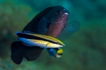 Cleaner wrasses and damsel