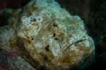 Flasher scorpionfish