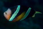 Clark`s anemone fish with Cymothoa in its mouth