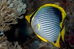 Butterflyfish feeding on Xenia soft coral