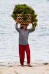 Carrying a heavy load of sea weed