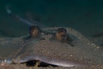 Bluespotted stingray (Neotrygon kuhlii)