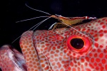 Cleaner shrimp (Lysmata amboinensis) and tomato grouper (Cephalopholis sonnerati)