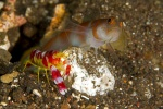 Partner goby and shrimp