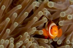 False clown (Amphiprion ocellaris)
