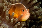 Skunk anemone fish (Amphiprion akallopisos)