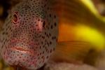Foster´s hawkfish (Paracirrhites forsteri)