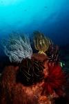 Crinoids, Nusa Penida