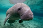 West Indian manatee (Trichechus manatus) in Crystal river