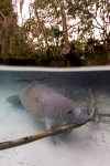 West Indian manatee (Trichechus manatus) using a branch to scratch itself