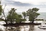 Mangrove, Keys