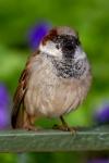 House sparrow (Passer domesticus), Orlando