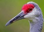 Sandhill Crane (Grus canadensis), Homosassa
