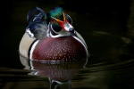 Wood duck (Aix sponsa), Homosassa