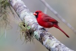 Cardinal (Cardinalis cardinalis), Homosassa