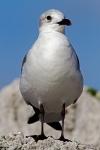 Laughing Gull (Leucophaeus atricilla) , Bahia Honda