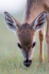 Key deer, (Odocoileus virginianus clavium), Pine key