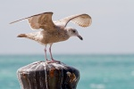 Juvenile gull, Key West