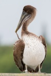 Brown Pelican (Pelecanus occidentals), No name Key