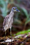 Yellow-crowned night-heron (Nyctanassa violate)