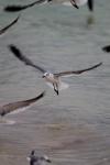Laughing Gull (Leucophaeus atricilla), Bahia Honda