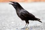 American crow (Corvus brachyrhynchos), Everglades