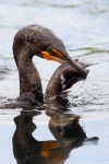 Double-crested cormorant (Phalacrocorax auritus), Everglades, with a catfish