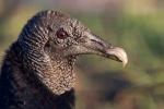 lack Vulture (Coragyps stratus), Everglades