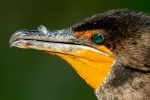 Double-crested cormorant (Phalacrocorax auritus), Everglades