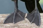 Cormorant feet, Everglades