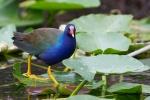 Purple gallinule (Porphyrio martinicus)