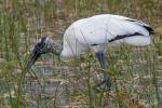 Wood Stork (Mycteria americana), Everglades