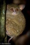 Spectacled tarsier