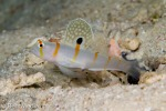Shrimp goby and shrimp, Raja Ampat